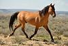 Hurricane, band stallion, Sand Wash Basin CO (10)