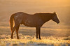 Stallion at sunrise, Sand Wash Basin CO (13)