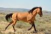 Hurricane, band stallion, Sand Wash Basin CO (12)