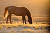 Stallion at sunrise, Sand Wash Basin CO (12)