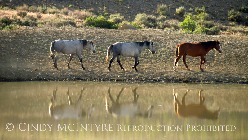 Bachelor stallions, Sheepherder's Spring, Sand WAsh