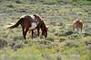 Cherokee, band stallion grazing (1)