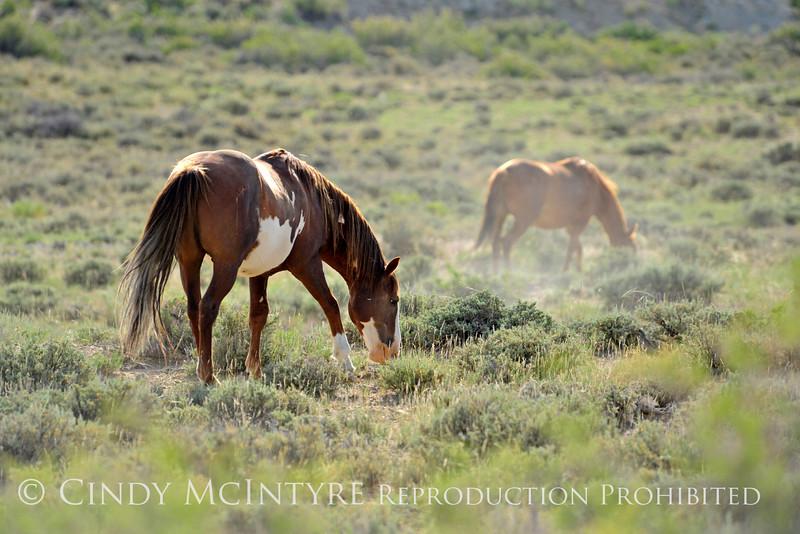 Cherokee, band stallion grazing (2)