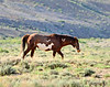 Cherokee, band stallion 8