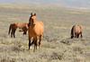 Hurricane, band stallion, Sand Wash Basin CO (1)