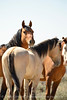 Hurricane, band stallion, Sand Wash Basin CO (6)