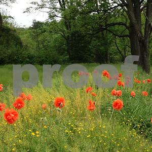 poppies1f