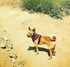"🍃🐕🍃 Pharaoh off leash at Runyon April 3  Adam Lambert's IG: ""SPRUNG"""