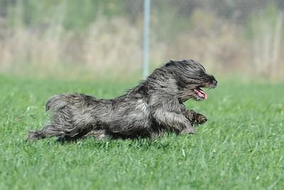 Potomac Cairn Terrier Club  #3