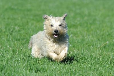 Potomac Cairn Terrier Club  #4