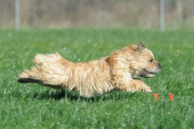 Potomac Cairn Terrier Fun Run #2