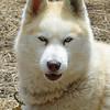 Saturday, 23/11 - day 2: Sled dog at Dinner Plain