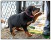 2015-01-08_RHR : More puppies for adoption, shepherd mixes. www.ruffhouserescue.com