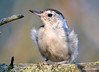 DSC_7490 White-breasted Nuthatch Aug 19 2015