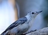 DSC_7492 White-breasted Nuthatch Aug 19 2015
