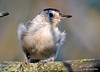 DSC_7489 White-breasted Nuthatch Aug 19 2015