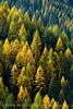 Autumn larch, Missoula to Idaho border (29)