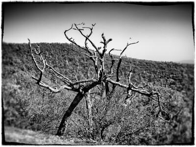 Spooky Tree at Mt. Pisgah
