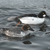 Common Goldeneyes (F&M) Feb 13 2015