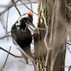 Pileated Woodpecker Apr 3 2015