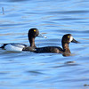 Greater Scaups (M&F) May 2 2015