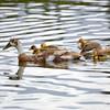 Indian River Ducks Aug 9 2015
