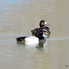 Lesser Scaups (M&F) May 3 2015
