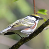 Chestnut-sided Warbler May 14 2015