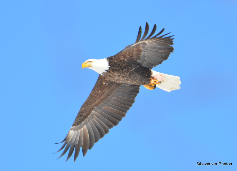Bald Eagle Mar 19 2015