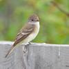 Willow Flycatcher July 24 2015