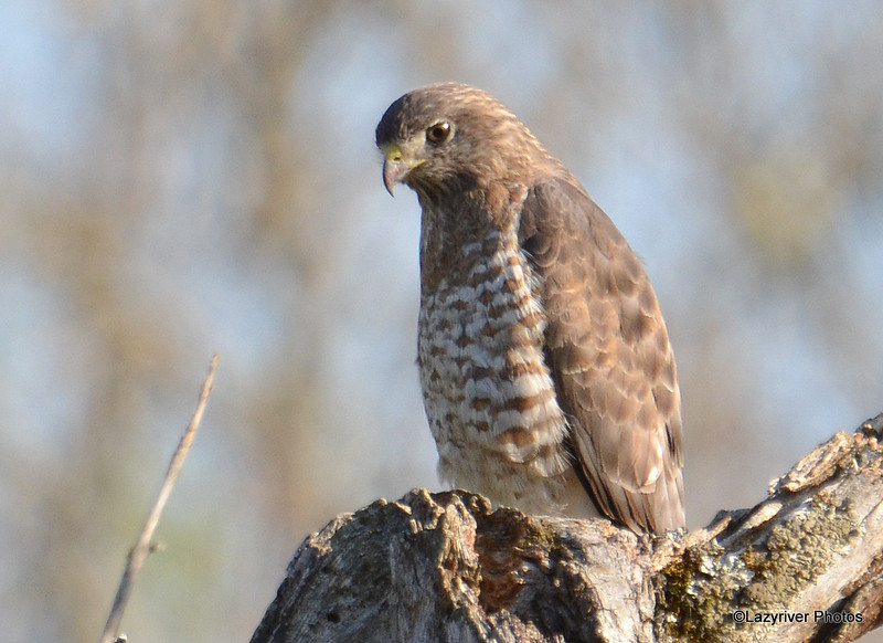 Broad-winged Hawk May 14 2015