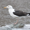 Greater Black Back Gull Mar 1 2015