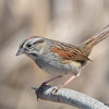 Swamp Sparrow May 7 2015