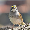 White-throated Sparrow May 6 2015