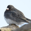 Dark-eyed Junco Feb 23 2015
