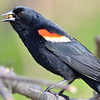Red-winged Blackbird (M) May 2 2015