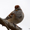American Tree Sparrow Apr 8 2015