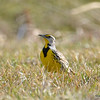 Eastern Meadowlark Apr 23 2015