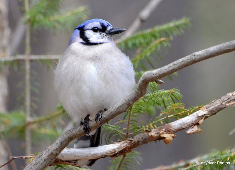 Blue Jay Apr 9 2015