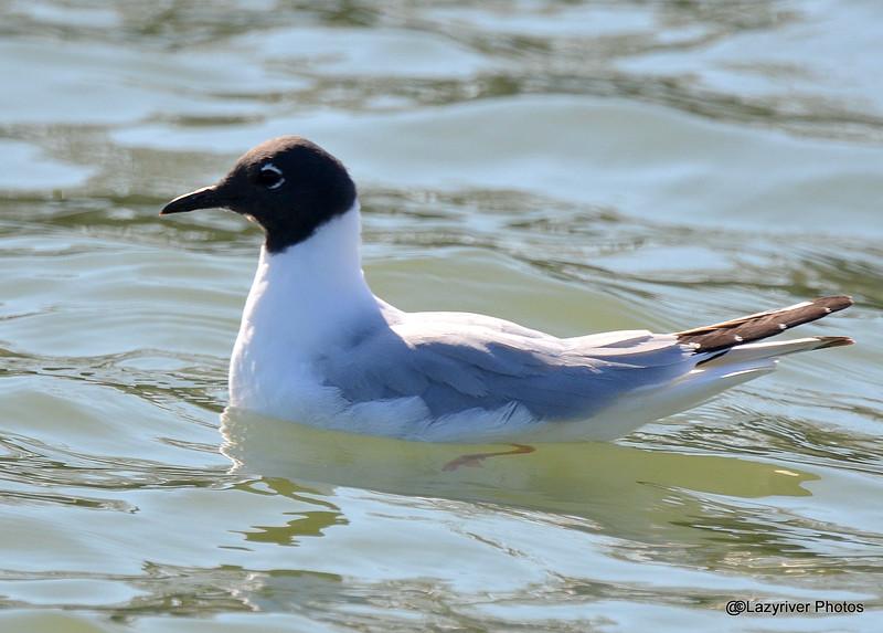 Bonaparte Gull Maay 2 2015