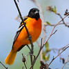 Baltimore Oriole (M) May 13 2015