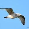 Herring Gull May 2 2015