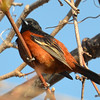 Orchard Oriole May 3 2015