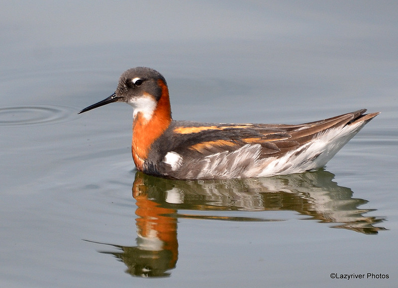 Red-necked Phalarope June 4 2015