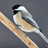 Black-capped Chickadee Jan 11 2015