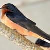 Barn Swallow May 2 2015