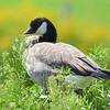 Cackling Goose Aug 9 2015