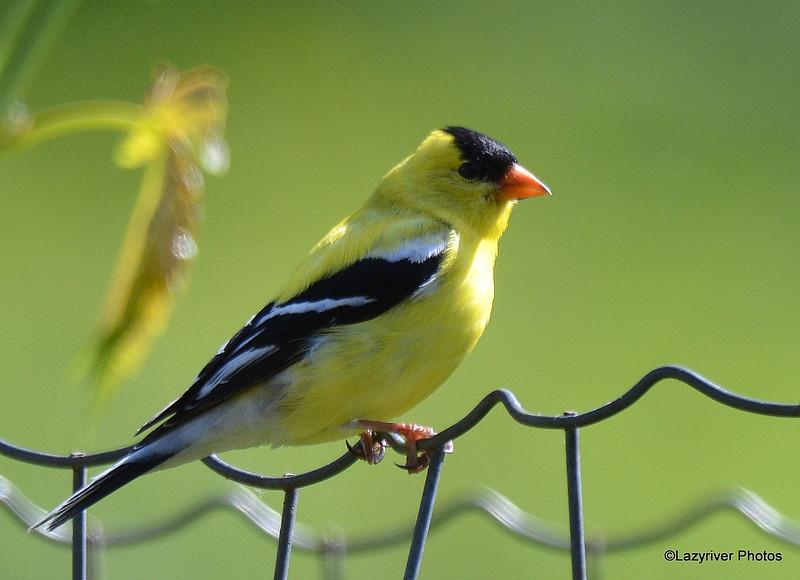 American Goldfinch (M) June 3 2015
