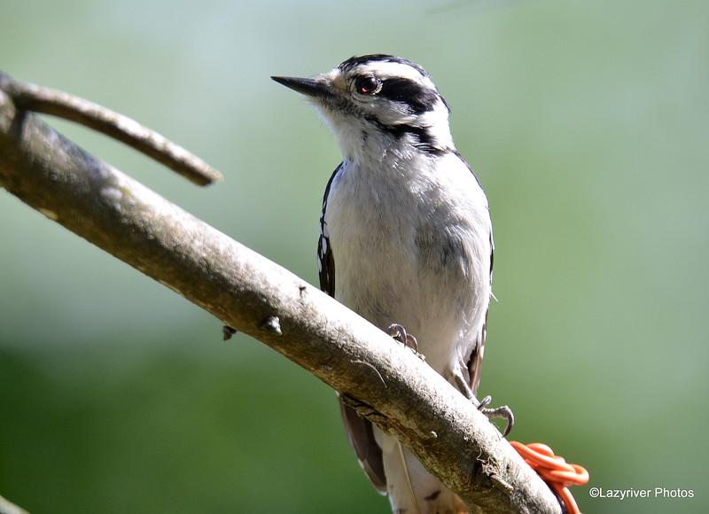 Downey Woodpecker (F) June 3 2015