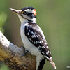 Hairy Woodpecker (M) June 3 2015